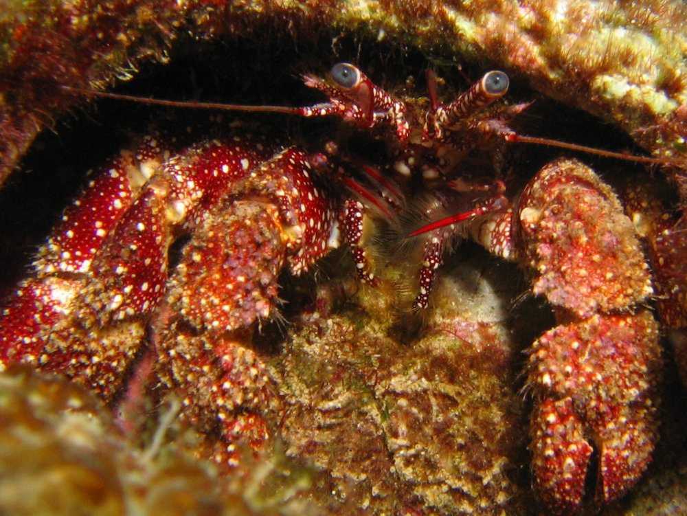 White Speckled Hermit Crab - Paguristes punticeps