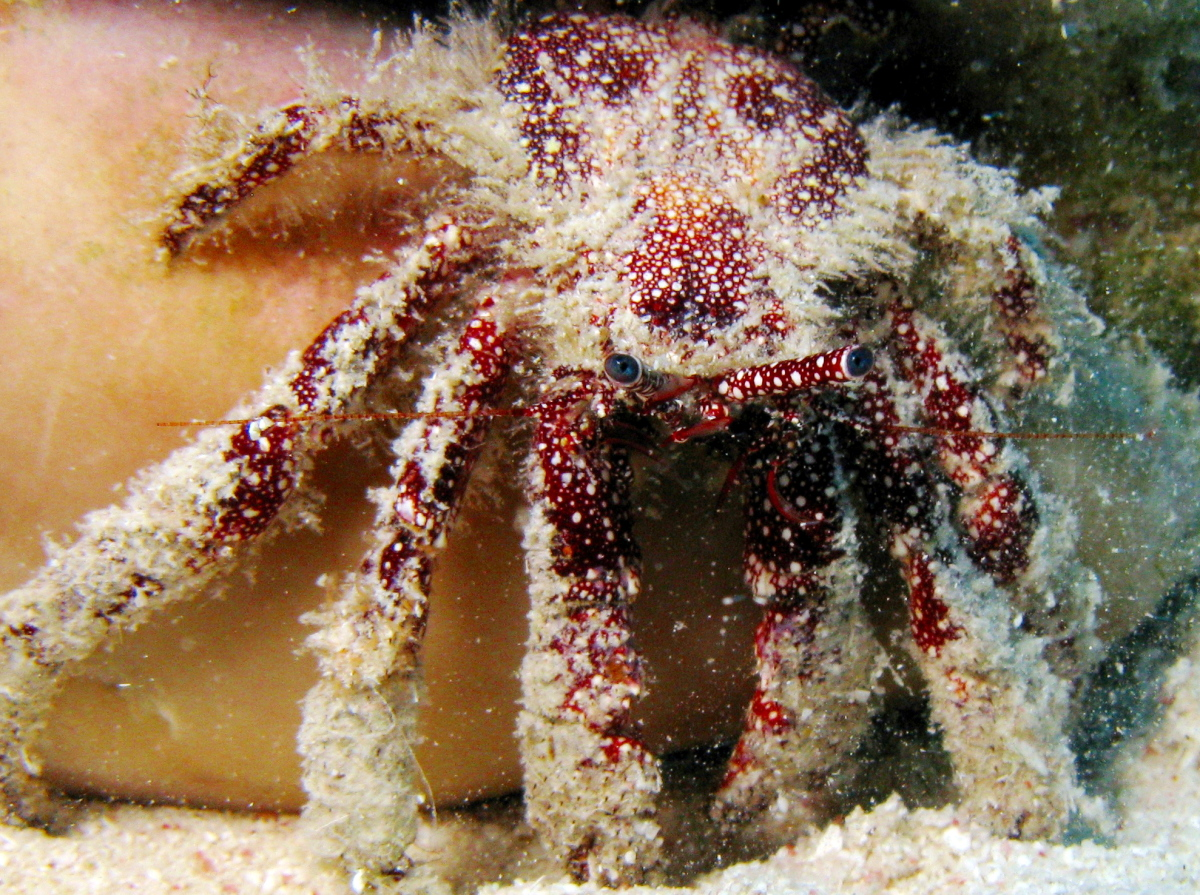 White Speckled Hermit Crab - Paguristes puncticeps