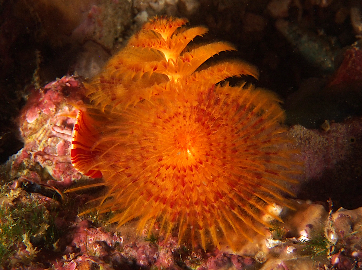 Panamic Christmas Tree Worm - Spirobranchus incrassatus