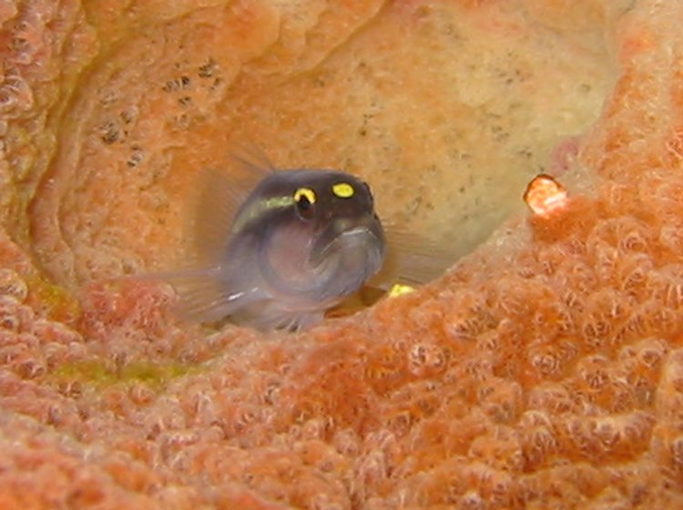 Spotlight Goby - Elacatinus louisae