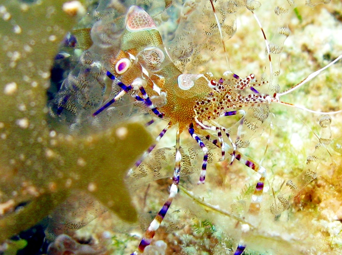 Spotted Cleaner Shrimp - Periclimenes yucatanicus