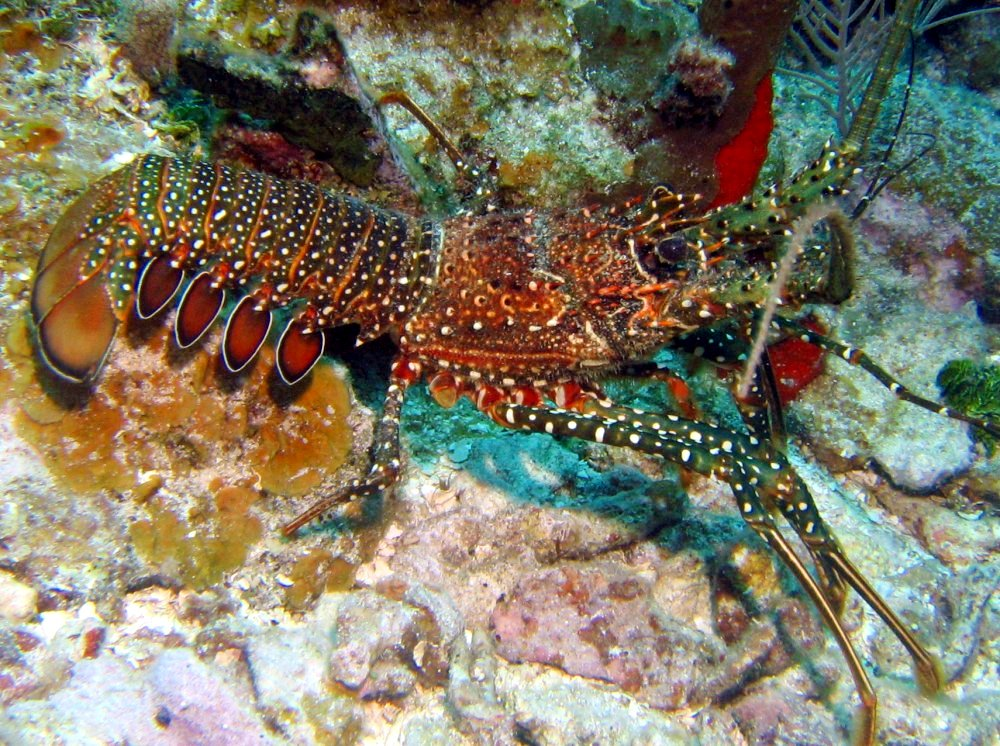 Spotted Spiny Lobster - Panulirus guttatus