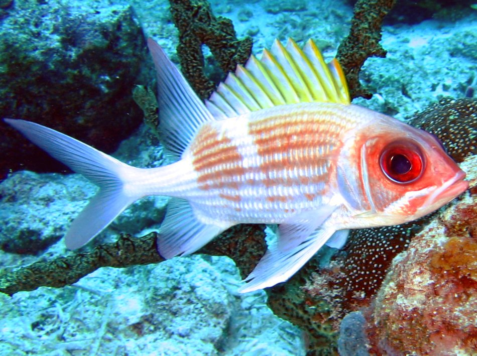 Squirrelfish - Holocentrus adscensionis