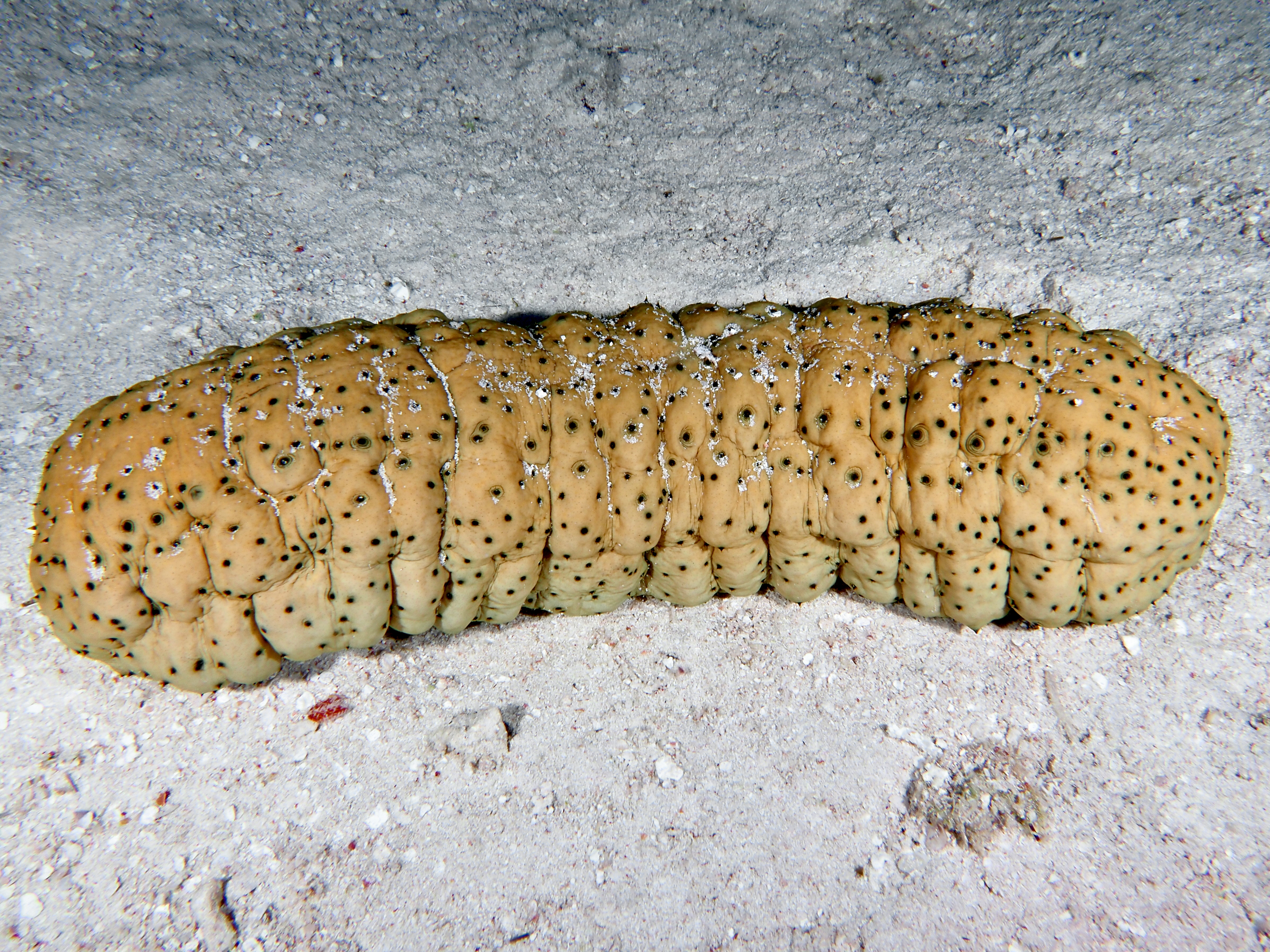 Curryfish Sea Cucumber - Stichopus herrmanni - Great Barrier Reef, Australia