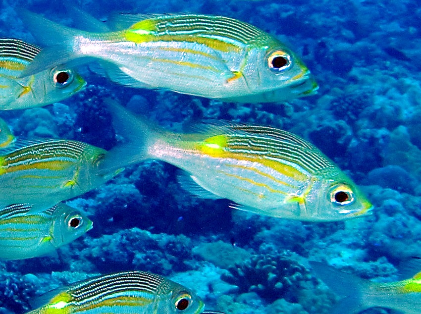 Striped Large-Eye Bream - Gnathodentex aureolineatus