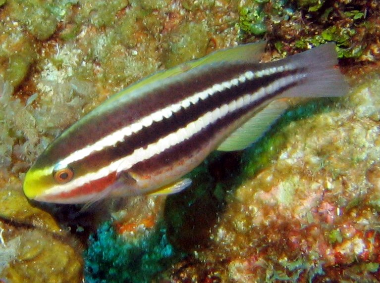 Striped Parrotfish - Scarus iserti