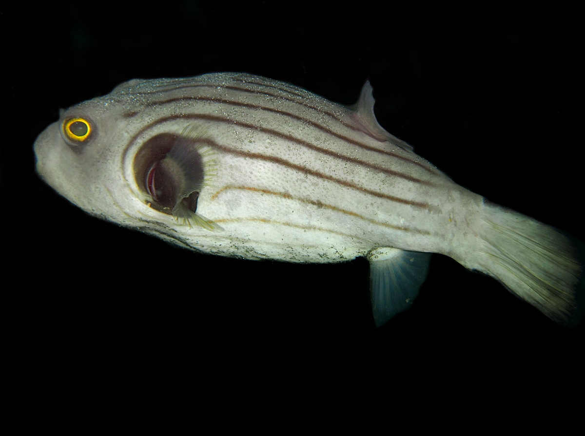 Striped Puffer - Arothron manilensis