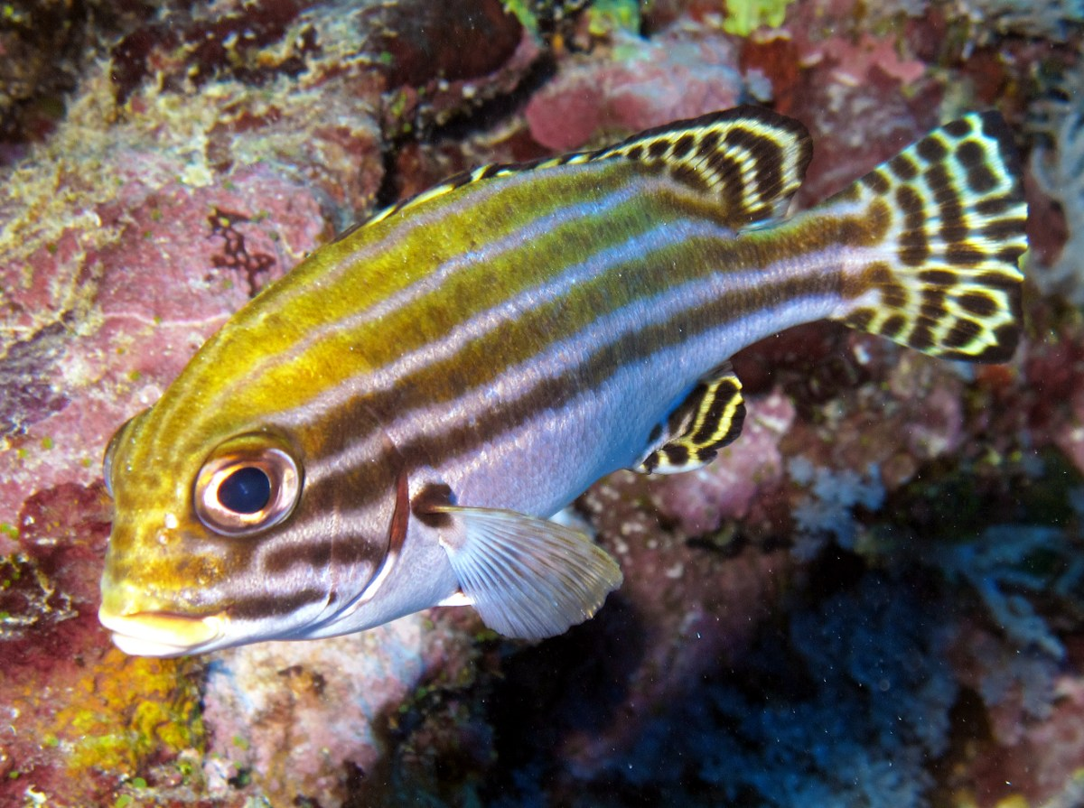 Striped Sweetlips - Plectorhinchus lessonii - Yap, Micronesia