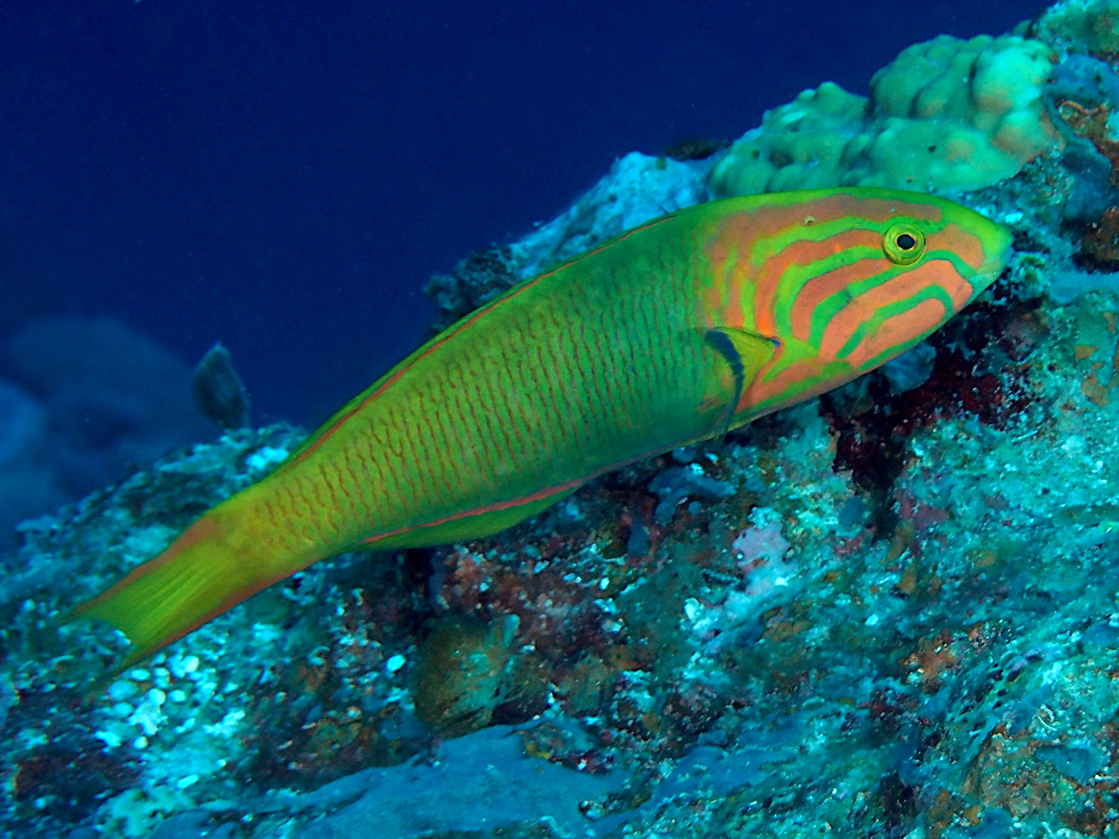 Yellow-Brown Wrasse - Thalassoma lutescens