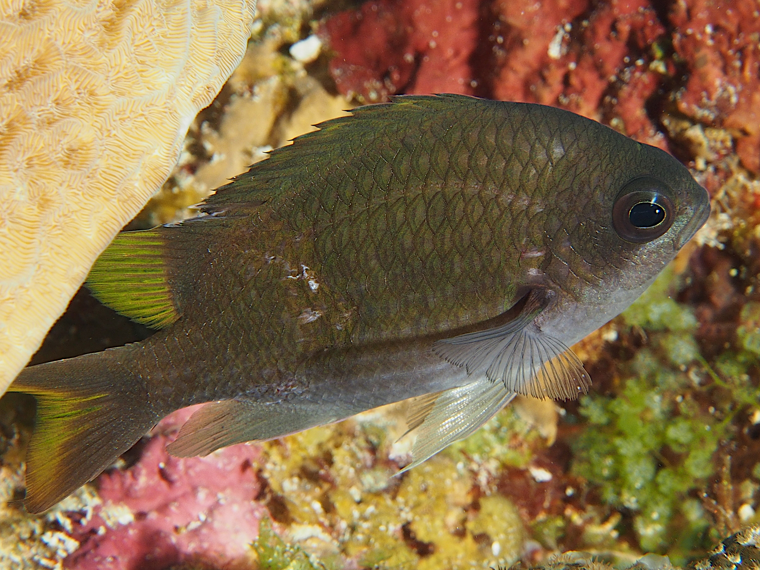 Sunshinefish - Chromis insolata