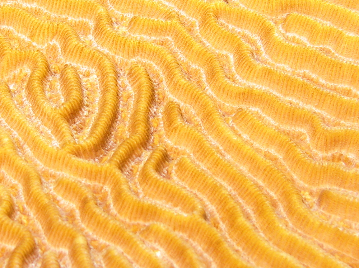 Symmetrical Brain Coral - Diploria strigosa