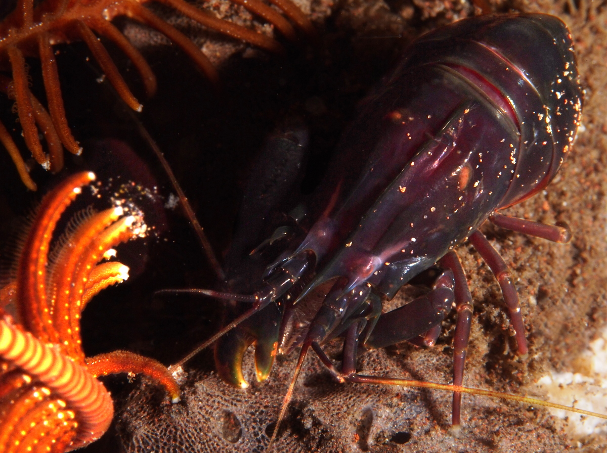 Deman's Snapping Shrimp - Synalpheus demani - Bali, Indonesia