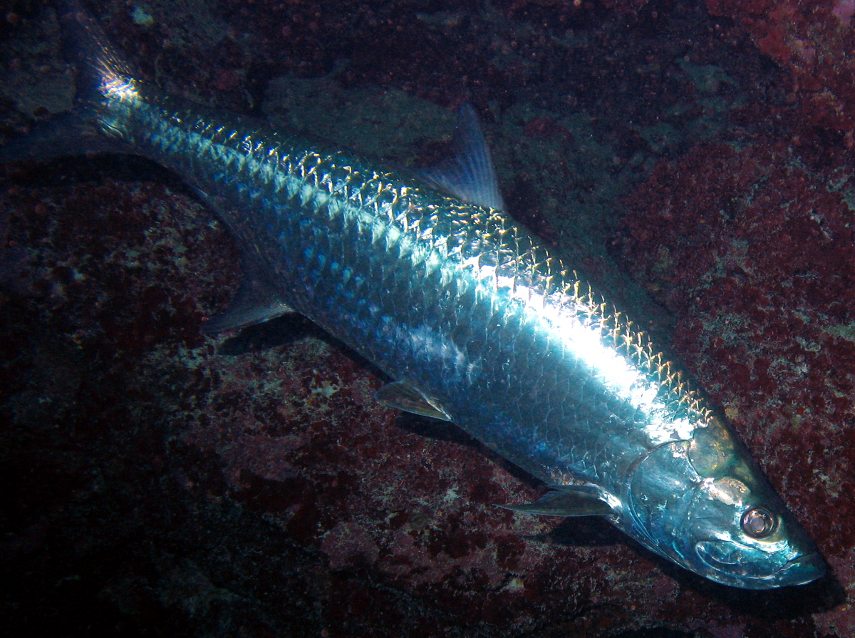 Atlantic Tarpon - Megalops atlanticus