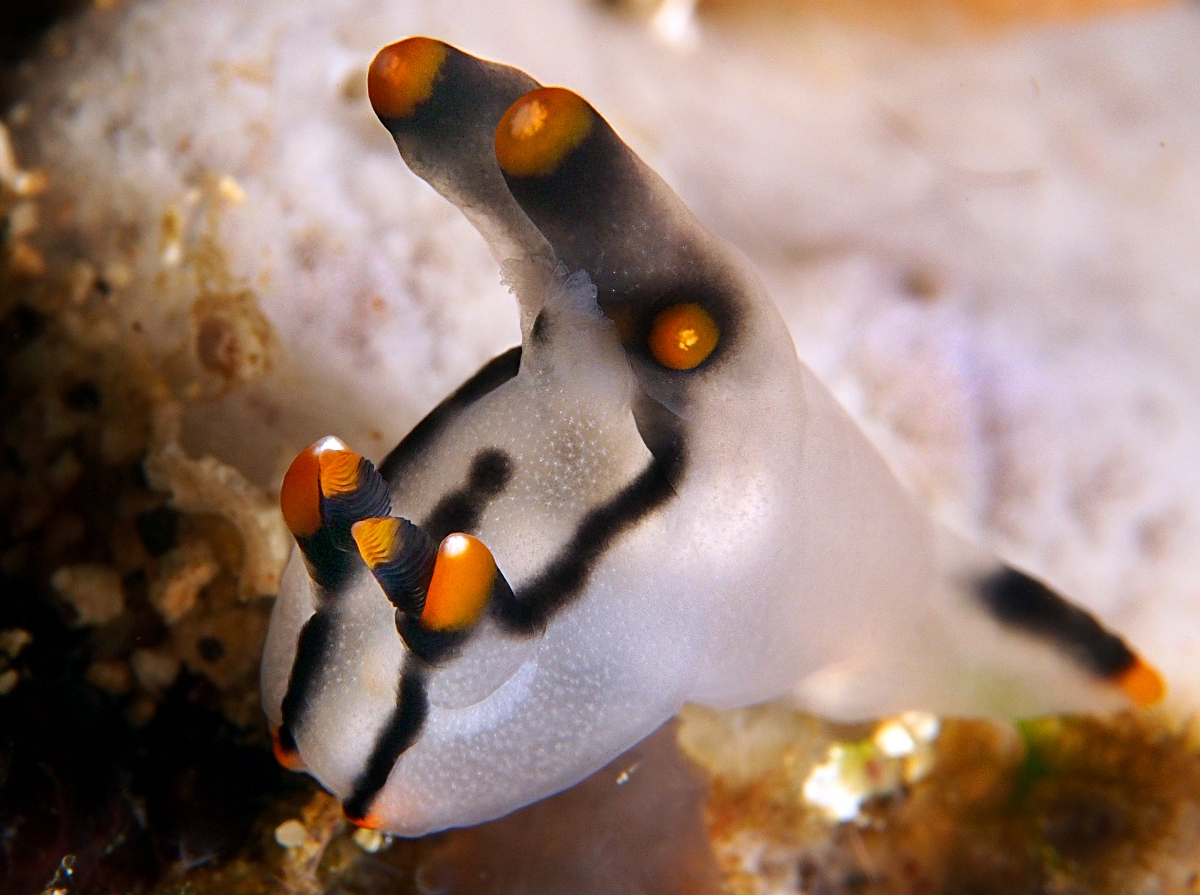 Painted Thecacera - Thecacera picta - Anilao, Philippines