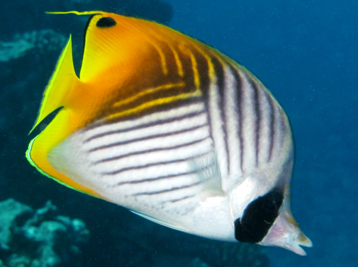 Threadfin Butterflyfish - Chaetodon auriga - Maui, Hawaii