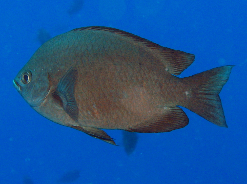Threespot Chromis - Chromis verater - Lanai, Hawaii