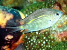 Spiny Chromis - Acanthochromis polyacanthus