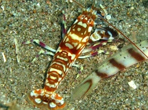 Tiger Snapping Shrimp - Alpheus bellulus