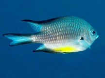 White-Belly Damselfish - Amblyglyphidodon leucogaster