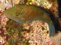 Ambon Toby - Canthigaster amboinensis