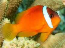 Fiji Anemonefish - Amphiprion barberi