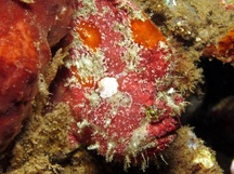Freckled Frogfish - Antennatus coccineus