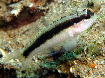 Striped Goby - Asterropteryx striata