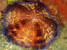 Variable Fire Urchin - Asthenosoma varium