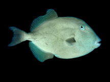 Finescale Triggerfish - Balistes polylepis
