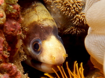 Barred Moray Eel - Echidna polyzona