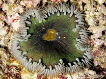 Beaded Anemone - Epicystis crucifer