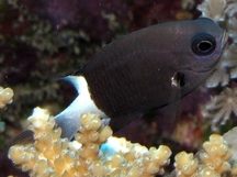 Bicolor Chromis - Chromis margaritifer