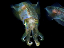 Bigfin Reef Squid - Sepioteuthis lessoniana