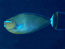 Tropical reefs angelfishes surgeonfishes rabbitfishes for Big nose fish