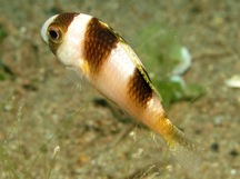 Black-Banded Damselfish - Amblypomacentrus breviceps
