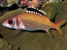Blackfin Squirrelfish - Neoniphon opercularis