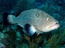 Black Grouper - Mycteroperca bonaci