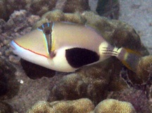 Blackpatch Triggerfish - Rhinecanthus verrucosus