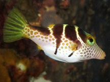 Black-Saddled Toby - Canthigaster valentini