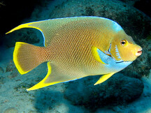 Caribbean Reefs Angelfishes Butterflyfishes