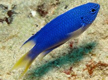 Blue Damselfish - Pomacentrus pavo