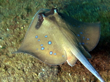 Blue-Spotted Stingray - Neotrygon kuhlii
