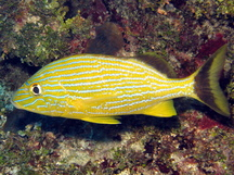 Bluestriped Grunt - Haemulon sciurus