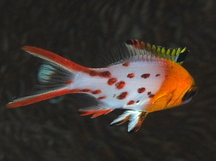 Lyretail Hogfish - Bodianus anthioides