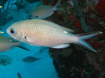 Brown Chromis - Chromis multilineata