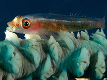 Translucent Coral Goby - Bryaninops erythrops