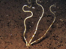 Burrowing Brittle Stars -