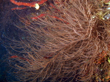 Bushy Black Coral - Antipathes n. sp.