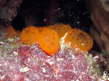Button Tunicate - Distaplia corolla