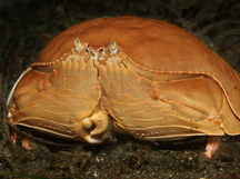 Giant Box Crab - Calappa calappa